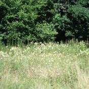 Eine Reduzierung der Mahdfrequenz oder verspätete Schnittzeitpunkte führen in Feuchtwiesen zum Aufwuchs von Hochstauden wie Brennessel oder Mädesüß, wie hier im Schlosspark Buch. © B. Seitz