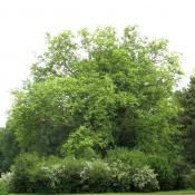 Von Strauchpflanzungen umrahmte Platane im Muskauer Park © A. von Lührte