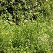 Wiesensaum mit Großem Odermennig (Agrimonia procera) und Gemeinem Leimkraut (Silene vulgaris) im Großen Tiergarten © M. S. Rohner