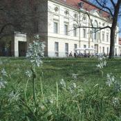 Durch die Anpassung der Mahdzeitpunkte in Scherrasen des Schlossgartens Charlottenburg konnten alte Stinzenpflanzen (hier: Nickender Milchstern) wieder zur prachtvollen Blüte kommen. © M. von der Lippe