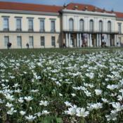 Artenreiche Scherrasen im Schlossgarten Charlottenburg, Blühaspekt mit Acker-Hornkraut © M. von der Lippe