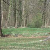 Im Schlosspark Buch sind alte Parkwälder mit einer artenreichen Geophytenflora ausgestattet (Blühaspekt mit Buschwindröschen). © B. Seitz