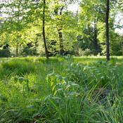 Die Boskettfüllungen im Schlossgarten Charlottenburg zeichnen sich durch eine artenreiche Flora mit Zeigern alter Gartenkultur (hier: Vielblütige Weißwurz) aus. © M. von der Lippe