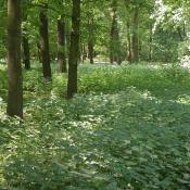 Eutrophierter Parkforst mit dichtem Brennesselunterwuchs im Großen Tiergarten. © U. Kielhorn