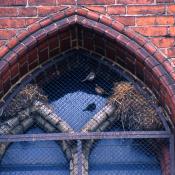 Brütende Hausperlinge in einer Fensternische © NABU Berlin Archiv