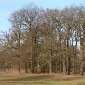 Prägende Altbaumgruppe am rand der großen Schlosswiese - durch eine unauffällige Zäunung als Parkelemente und Lebensraum erhalten.