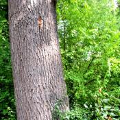 Bereits vom Heldbock besiedelte mittelalte Eiche, siehe das Bohrloch, das der Käfer beim Schlupf hinterlassen hat. © A. von Lührte