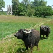 Bereits 1801 grasten Wasserbüffel als Attraktion am Teich nahe der Meierei. Jetzt sind sie wieder da als Landschaftspfleger für die Feuchtwiesen. © J. Uhlig