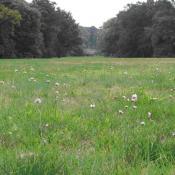 Trockenrasen im Park Babelsberg mit Grasnelke (Armeria elongata) © K. Andreas