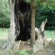 Neupflanzung einer Eiche im absterbenden Stubben der Originalsubstanz im Muskauer Park © B. Seitz