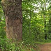 Aufgelassener Weg im Bamberger Hain zur Sicherung wertvoller Biotopbäume © A. von Lührte