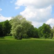 Die solitäre Grau-Pappel am Heiligen Berg im Branitzer Park. © C. Wecke