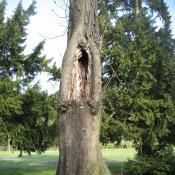 Alte Buche mit Höhlung: Wertvoller Biotopbaum © A. von Lührte