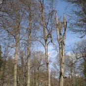 Buchenallee im Schlosspark Buch: Regelmäßige Begutachtung und Pflegeschnitte erforderlich. © A. von Lührte