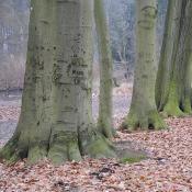 Alte Buchen: Biotopbäume © N. A. Klöhn