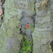 Buche mit roter Markierung als Biotopbaum © N. A. Klöhn