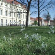 Nickender Milchstern (Ornithogalum nutans) in Blüte auf den Rasenflächen vor dem Schloss Charlottenburg © M. von der Lippe