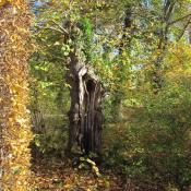 Wo sie keine Gefahren für Besucher darstellen, können absterbende Bäume im Bestand verbleiben. © SPSG, M. Hopp