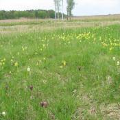 Im Frühjahr blühen auf den wieder hergestellten Feuchtwiesen Schachbrettblume und Schlüsselblume. © SPSG, M. Hopp