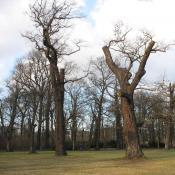Vom Heldbock besiedelte Alteichen können durch gezielte Schnittmaßnahmen erhalten werden. © SPSG, M. Hopp