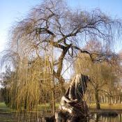 Trauerweiden-Torso im Unteren Schlossgarten © A. Hindersin