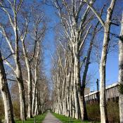 Geschützte  Platanenallee im Unteren Schlossgarten mit altem Baumbestand inmitten der Großstadt © C. Hartmann