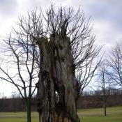 Ross-Kastanien-Torso als Lebensraum für Totholzbewohner © A. Hindersin