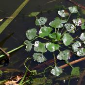 Wassernuss (Trapa natans) im Großkühnauer Landschaftspark © M. Pannach
