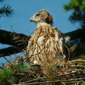 Junger Habicht auf dem Horst - eine streng geschützte Art, die auch in großen Parkanlagen vorkommt.© NABU Berlin