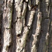 Ausschlupflöcher des Heldbocks in einer Alteiche - Hinweis auf das Vorkommen der streng geschützten Art © A. von Lührte