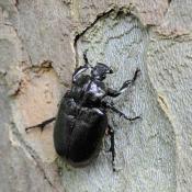 Der Eremit (Osmoderma eremita) ist ein höhlenbewohnender Holzkäfer und prioritäre FFH-Art.  © N. A. Klöhn