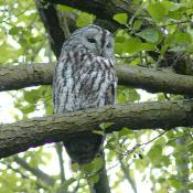 Waldkauz - streng geschützte Art nach Bundesnaturschutzgesetz. © H.-J. Storck
