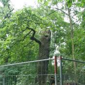 Durch Absperrung geschützter Torso einer Heldbockeiche im Schlosspark Niederschönhausen.© U. Kielhorn