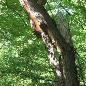 Stammbruch infolge intensiver Holzzersetzung mit erkennbarem Pilzfruchtkörper -Gefahrenquelle am Weg. © A. von Lührte
