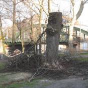 Notwendige Kopfbaumpflege bei hohler Linde - möglicherweise geschützter Lebensraum. © A. von Lührte