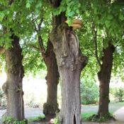 Kopfbäume mit tiefen Höhlen und Schuppigem Porling - potenzielle Lebenstätte. © A. von Lührte