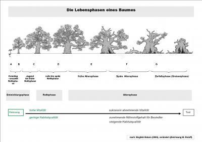 Die natürlichen Lebensphasen eines Baumes. Nach: English Nature (2000), verändert.
